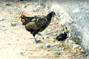 Mother Hen and Chick